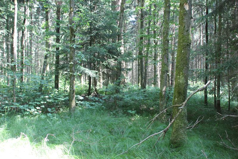 Grabhügel-im-Wald-bei-Hohmichele-